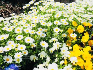 花,春,白,黄色,日本,フォトジェニック,インスタ映え