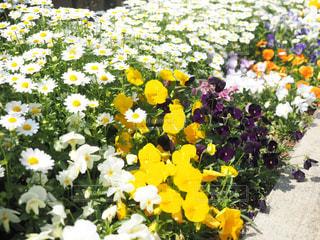 花,春,夏,白,黒,黄色,日本,花壇,フォトジェニック,インスタ映え
