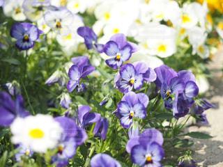 花,白,青,紫,黄色,日本,花壇,フォトジェニック,インスタ映え