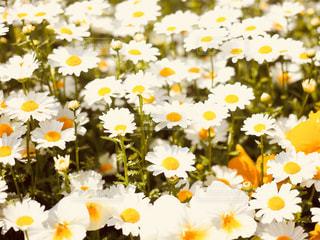 春,白,レトロ,日本,花壇,フォトジェニック,インスタ映え