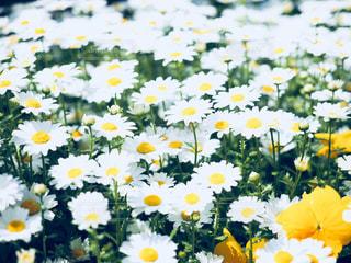 花,春,白,青,黄色,日本,花壇,クール,フォトジェニック,インスタ映え