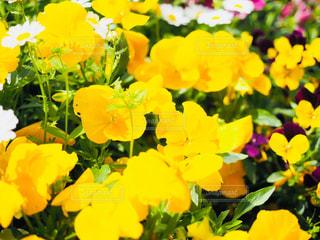 花,春,夏,黄色,レトロ,花壇,フォトジェニック,インスタ映え