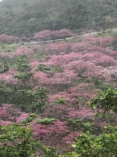 沖縄桜🌸日本一早い緋寒桜🌸の写真・画像素材[1053497]