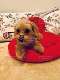 小型犬ベッドの上に座っての写真・画像素材[1366428]