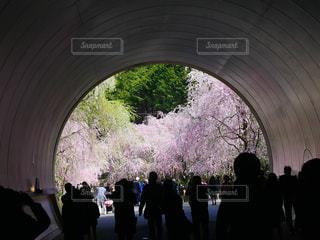 桜,トンネル,枝垂れ桜,花吹雪,花絶景