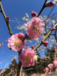 自然,花,春,梅,梅の花,茨城県,偕楽園