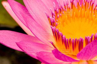 自然,花,夏,ピンク,植物,睡蓮,栃木,栃木県,桃色,pink,9月,スイレン,あしかがフラワーパーク
