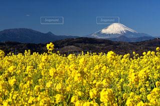 風景,お花畑,富士山,黄色,菜の花,黄色い花,イエロー,色,菜花