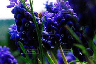 紫,ラベンダー,山梨県,レトロ風,花絶景