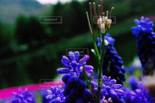 紫,ラベンダー,山梨県,レトロ風