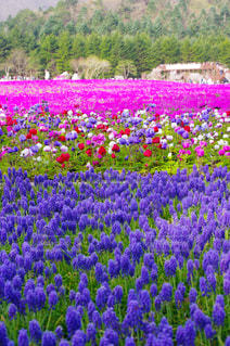 フィールドの紫花の束の写真・画像素材[1140169]