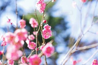 梅の花の写真・画像素材[4399496]