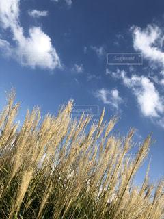 昭和記念公園,秋空,すすき