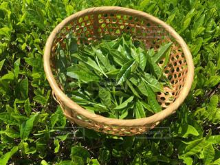 緑,景色,5月,茶摘み,八十八夜,緑茶,茶っ葉
