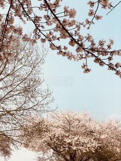 桜越しの青空の写真・画像素材[1101079]