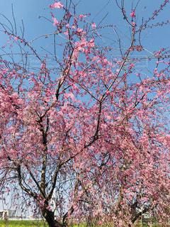 青空の下で枝垂れ桜が満開の写真・画像素材[1109102]