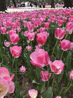 ピンク,青空,お花,チューリップ,茨城,ピンク色,桃色,いい天気