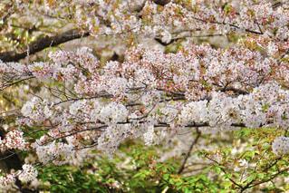 桜のつらなりの写真・画像素材[4312504]