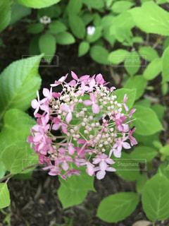 紫陽花,雨上がり,梅雨,ヤマアジサイ,庭先