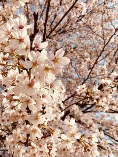 花,春,桜,満開