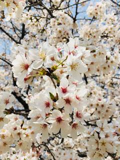 公園,花,春,桜,満開