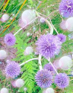 紫の花の束の写真・画像素材[1074144]