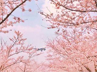 春霞の満開の桜に飛び立つ飛行機の写真・画像素材[1099550]
