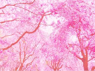 満開ねしだれ桜の写真・画像素材[1122144]