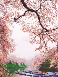 満開の桜 2016年4月の写真・画像素材[1122801]
