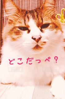 テーブルの上に座ってオレンジと白猫の写真・画像素材[1150317]