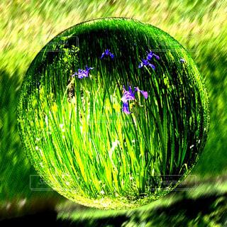 緑の中に咲くアヤメの写真・画像素材[1164360]