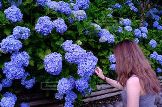 紫,満開,紫陽花,梅雨