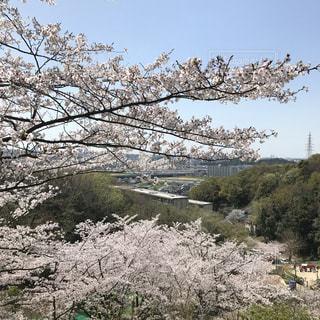 自然,空,春,桜,景色,樹木,草木,日中,大阪府,山腹,柏原市