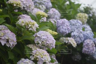 花,雨,紫陽花,ブルー,曇り空,梅雨,くもり,オールドレンズ