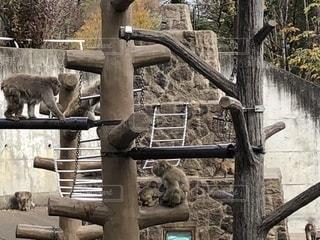 猿山の朝の写真・画像素材[1629414]