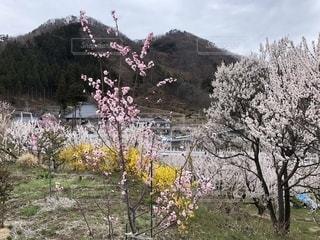 春満開の写真・画像素材[2015130]