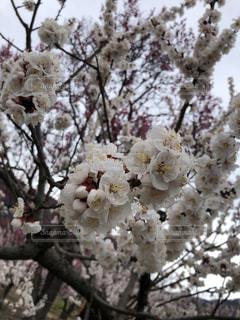 桜とはまた違う美しさの写真・画像素材[2015197]