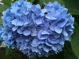 ハート型の青いアジサイの写真・画像素材[1122404]