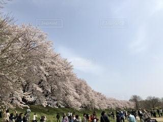 京都,2018.4,淀川河川敷背割堤