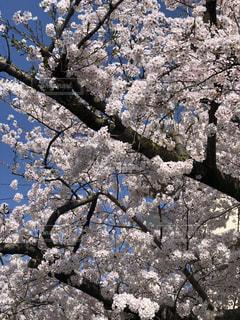 空,桜,青空