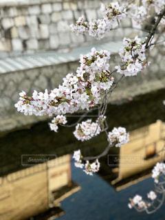 空,桜,川,樹木