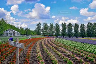 カラフルなお花畑の写真・画像素材[1158686]