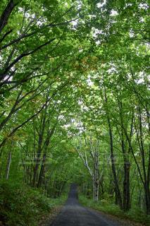 新緑の一本道の写真・画像素材[1169325]