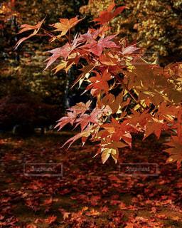 自然,紅葉,景色,旅行,Snapmart,コンテスト,札幌市,写真素材,フォトコンテスト,紅櫻公園