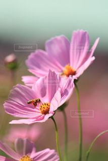 自然,花,秋,植物,コスモス,蜂,秋桜