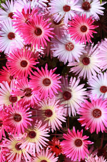 ピンク,植物,カラフル
