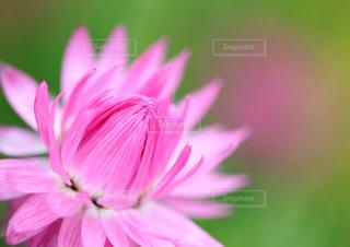 花,ピンク,植物,カラフル,花びら