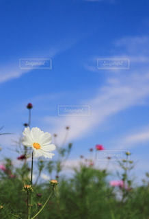 自然,花,秋,植物,コスモス,花びら,樹木,秋桜