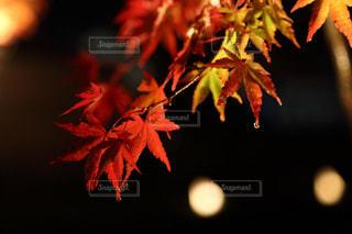 秋,夜,紅葉,もみじ,静岡県