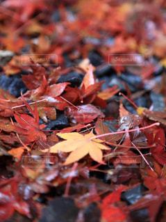 紅葉,屋外,京都,もみじ